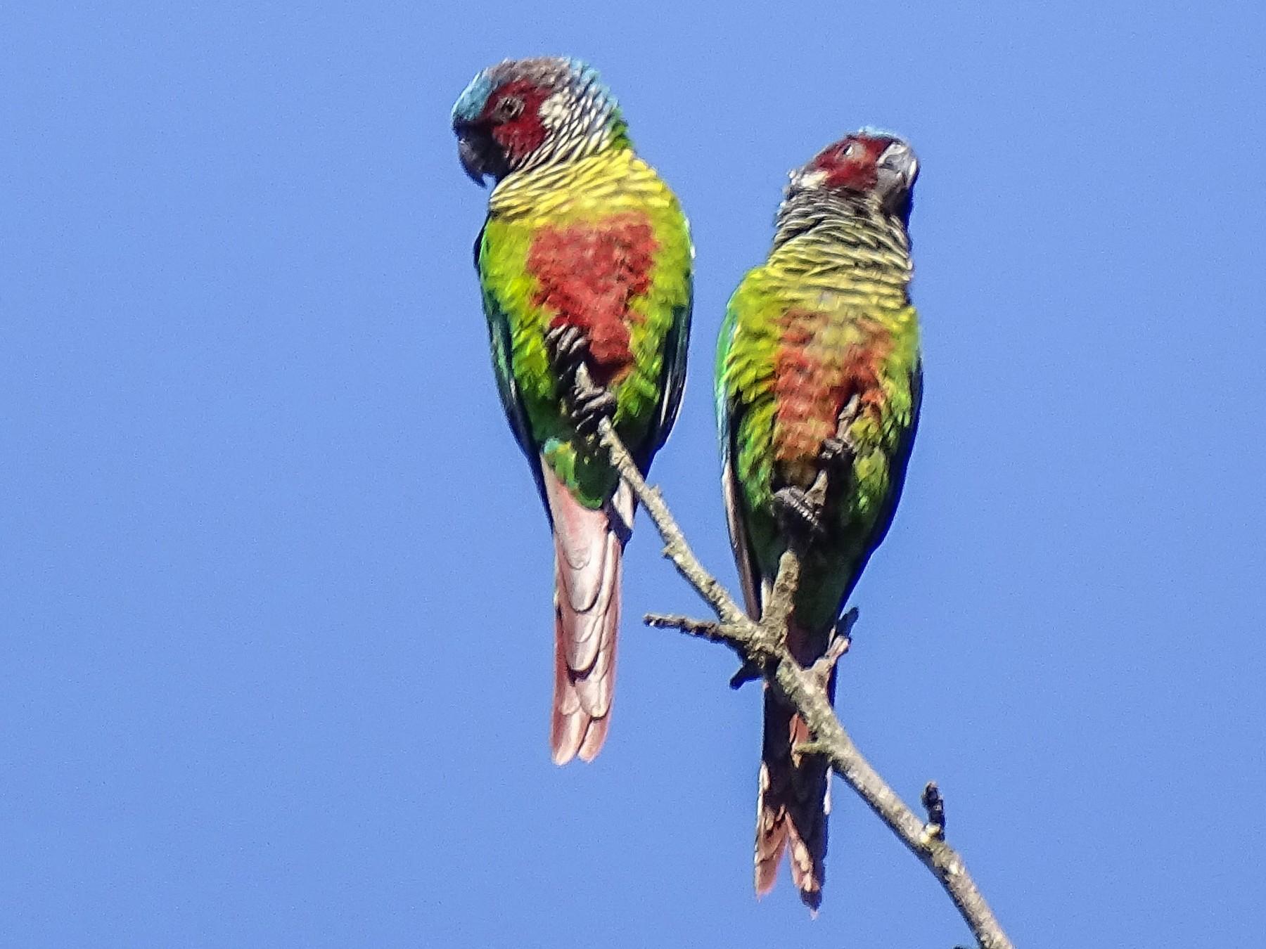 Painted Parakeet - Jhonathan Miranda