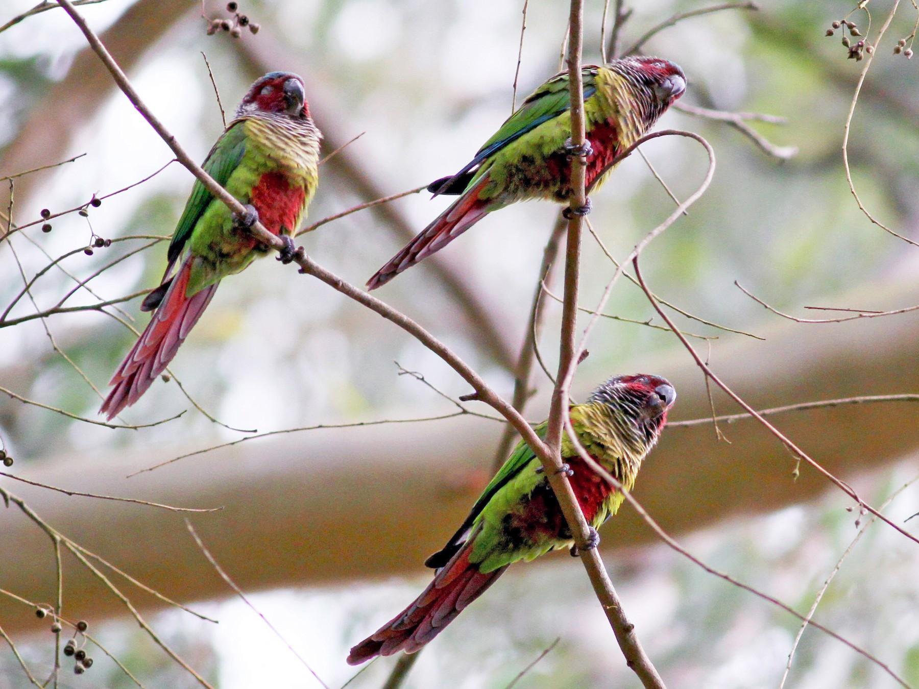 Painted Parakeet - Jay McGowan