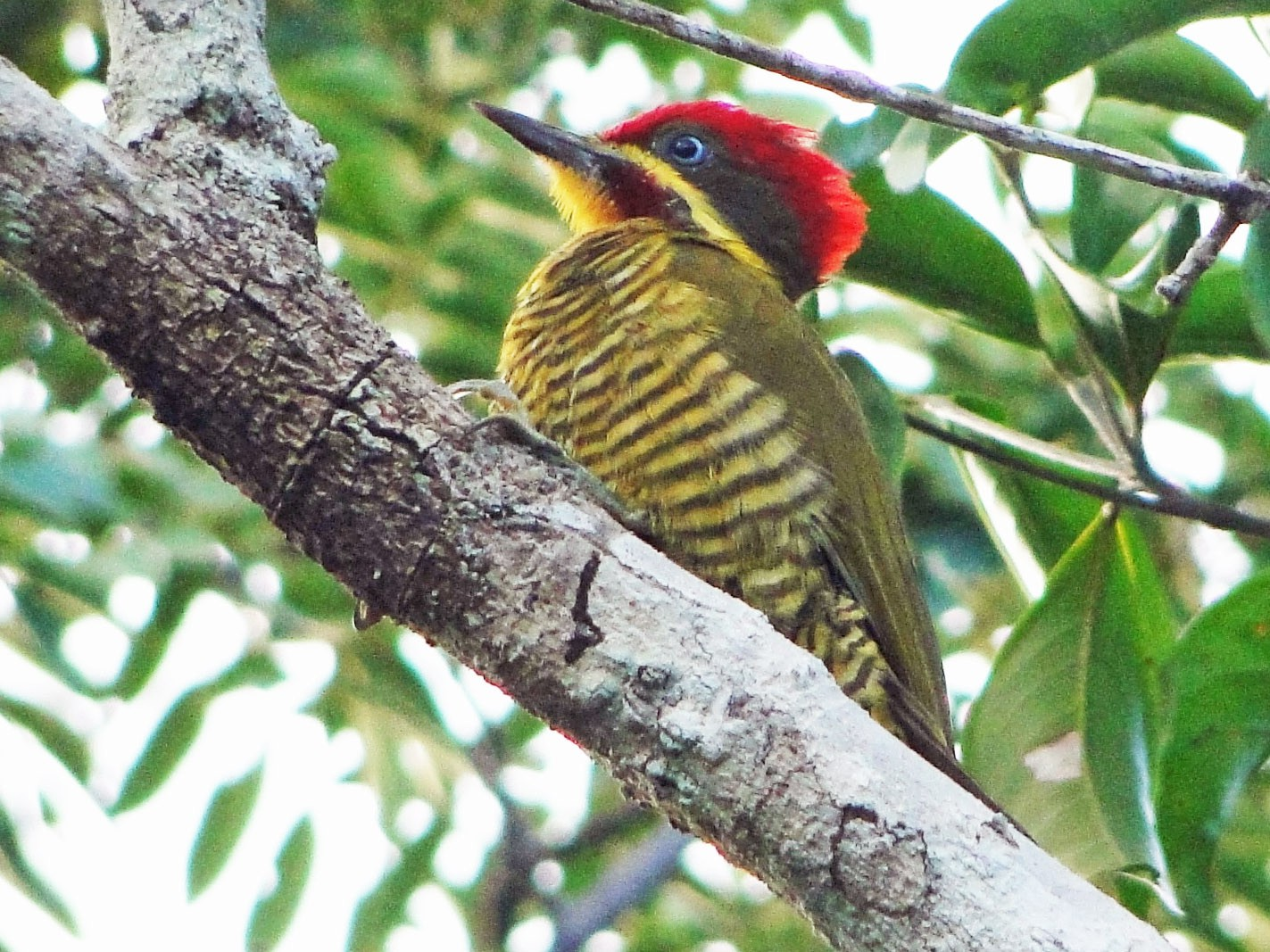 Golden-green Woodpecker - Carlos Otávio Araujo Gussoni