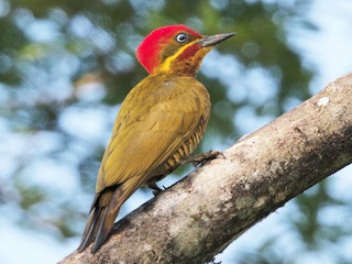 - Golden-green Woodpecker