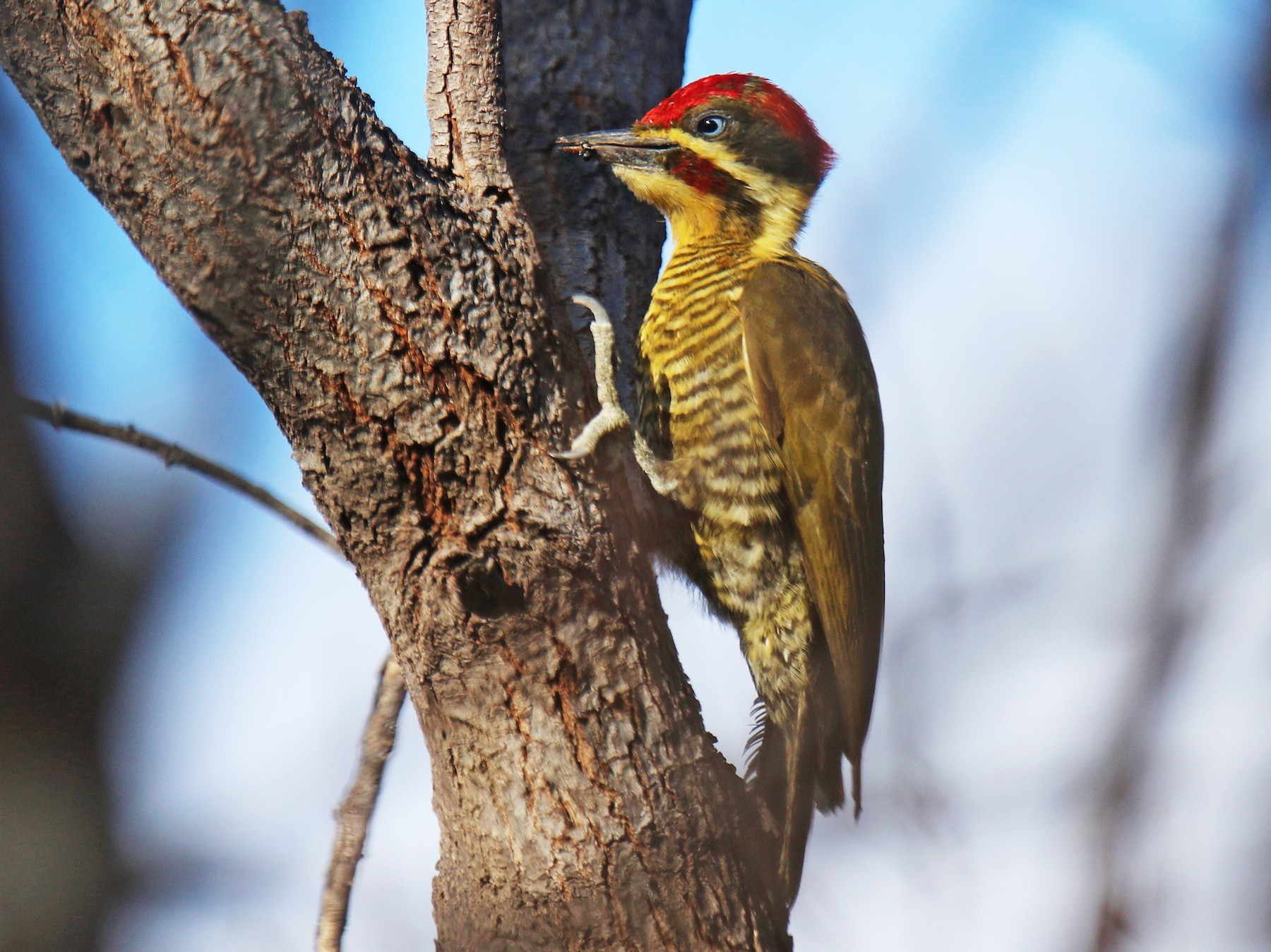 Golden-green Woodpecker - Thompson Ian