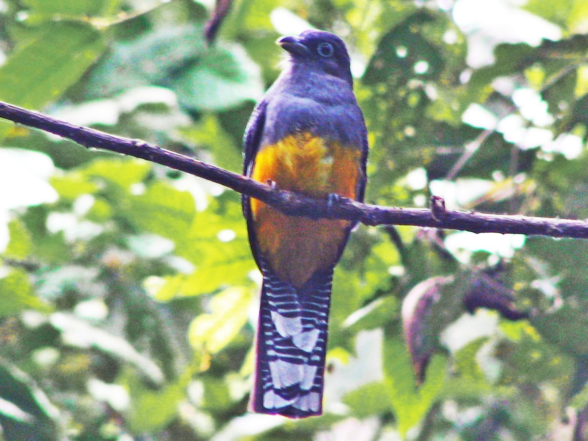 White-tailed Trogon - Fred Peters