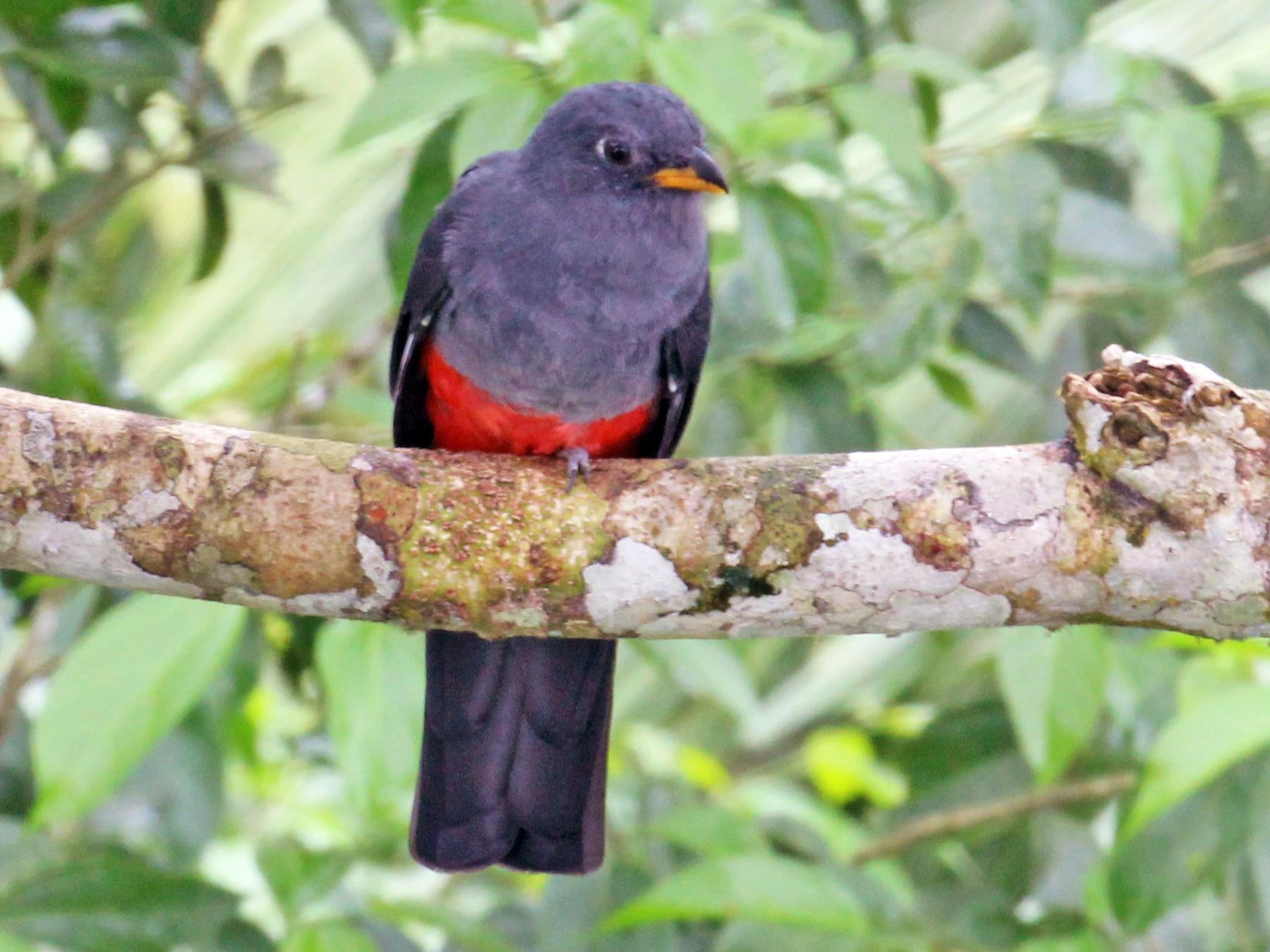 Black-tailed Trogon - Charles Gates