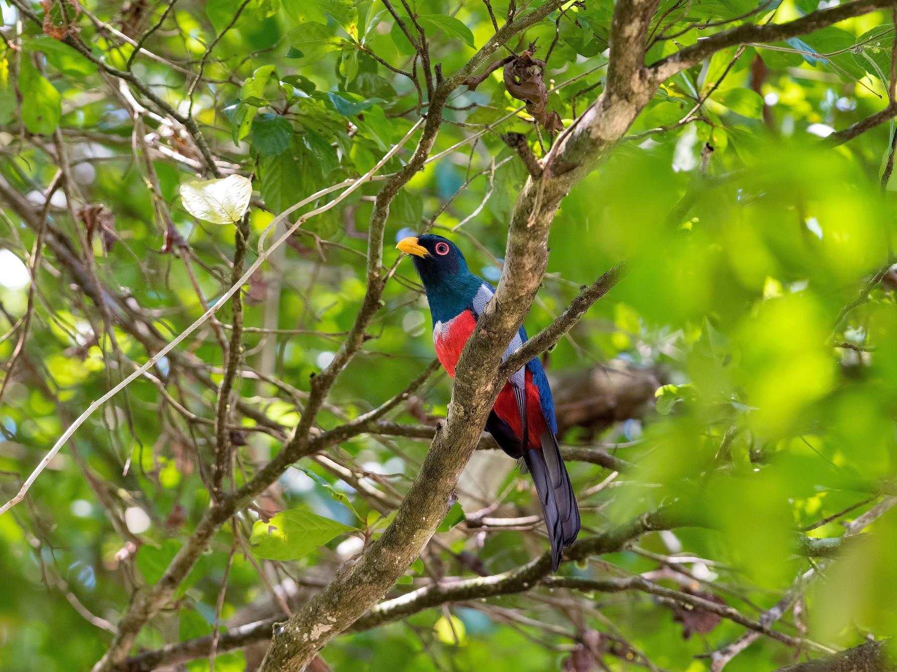 Black-tailed Trogon - Shailesh Pinto
