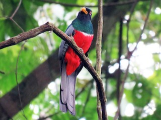 - Black-tailed Trogon