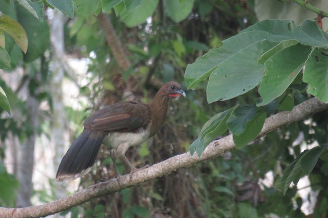 Chestnut-winged Chachalaca