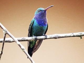 - Sapphire-throated Hummingbird