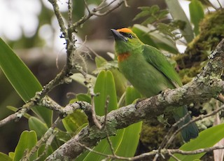 - Flame-fronted Barbet