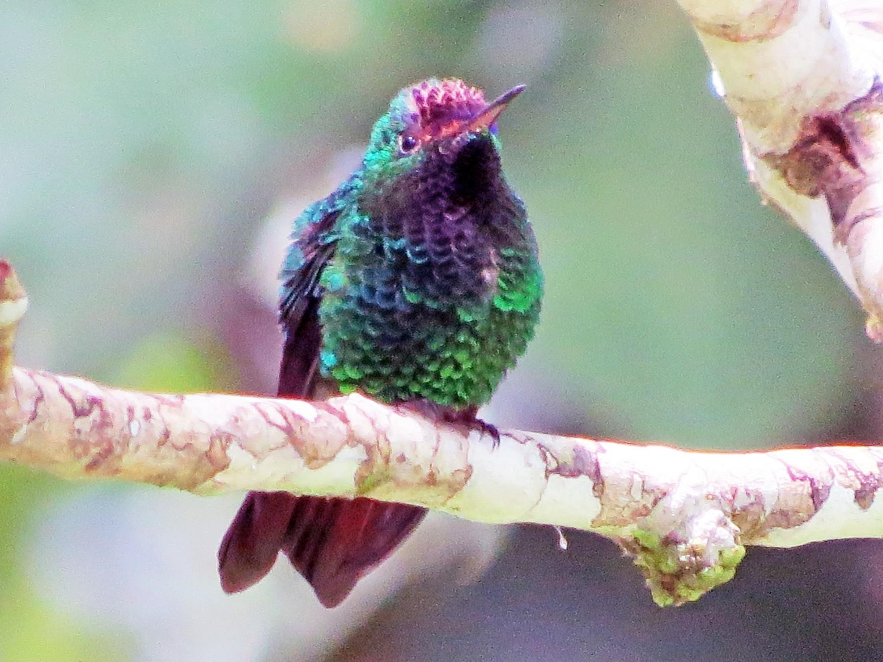 Violet-capped Hummingbird - Gina  Nuñez