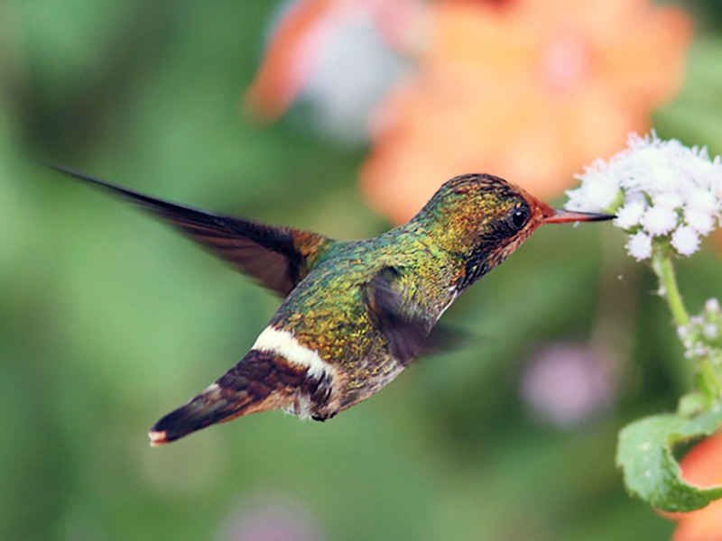 Rufous-crested Coquette - CELINE LAHAYE
