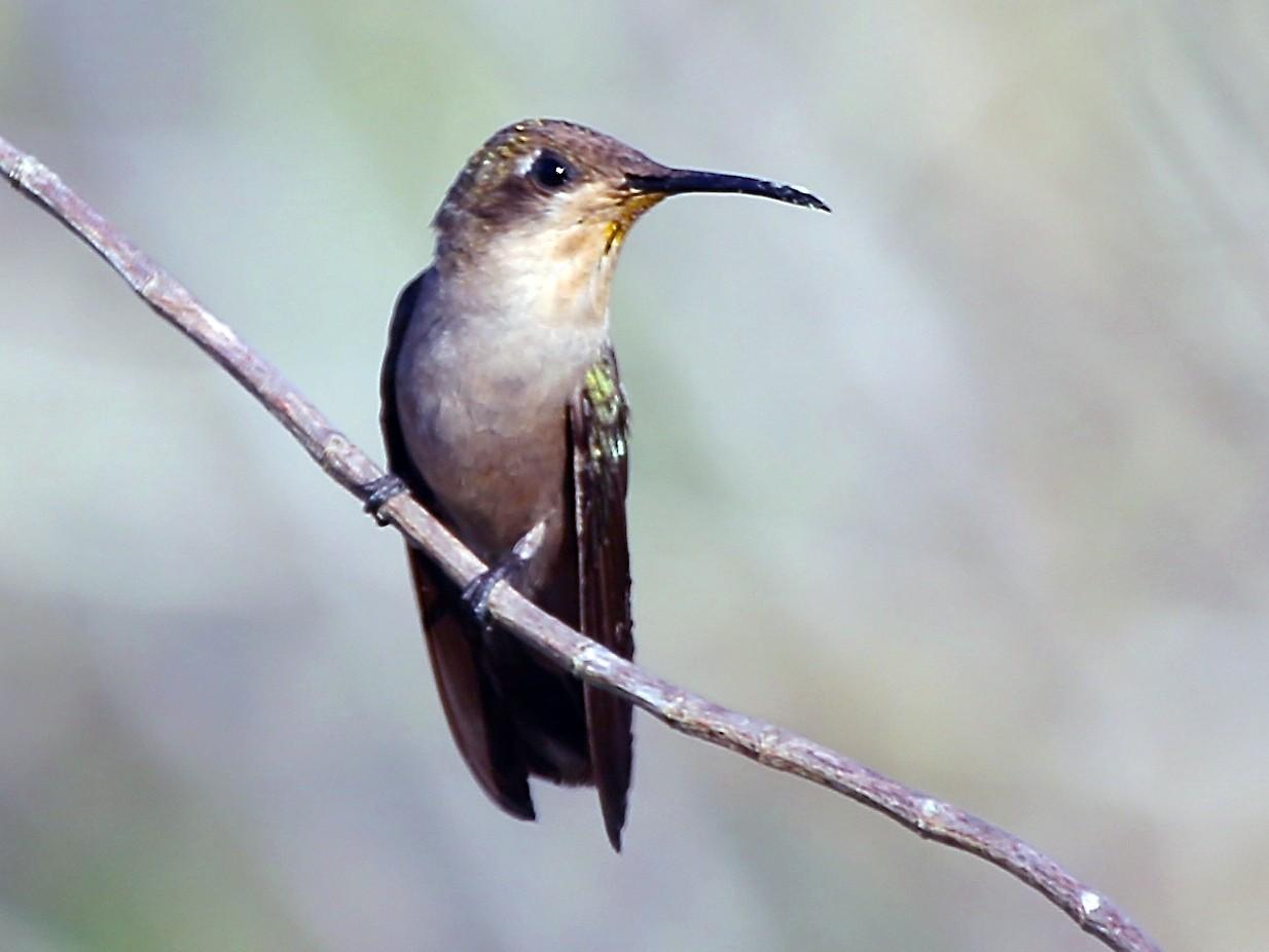 Ruby-topaz Hummingbird - Gil Ewing