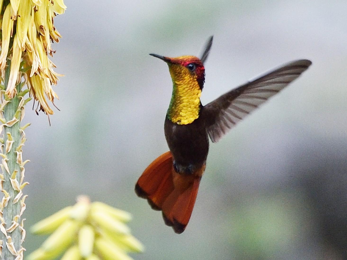 Ruby-topaz Hummingbird - Michiel Oversteegen