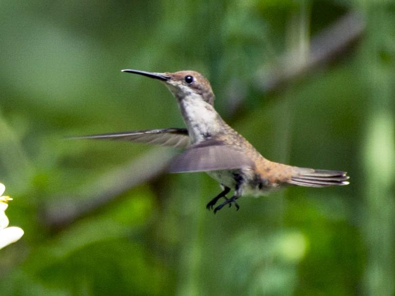 Ruby-topaz Hummingbird - Jerome Foster