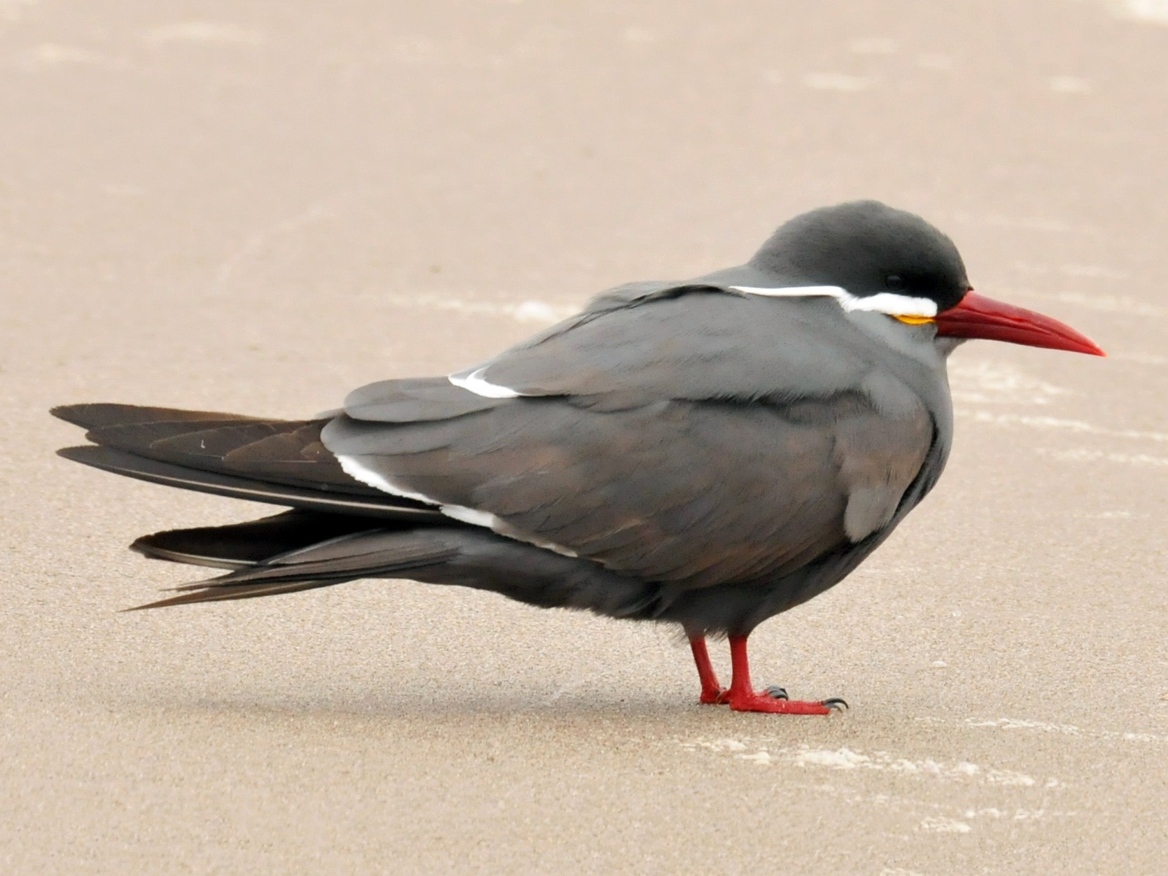Inca Tern - Philippe DANDOIS