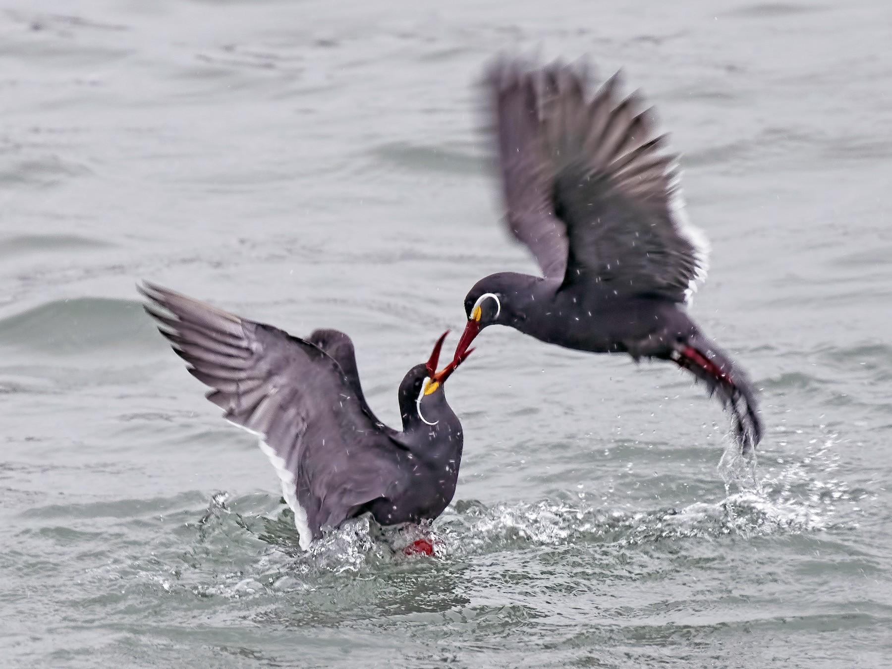 Inca Tern - Peter Hawrylyshyn