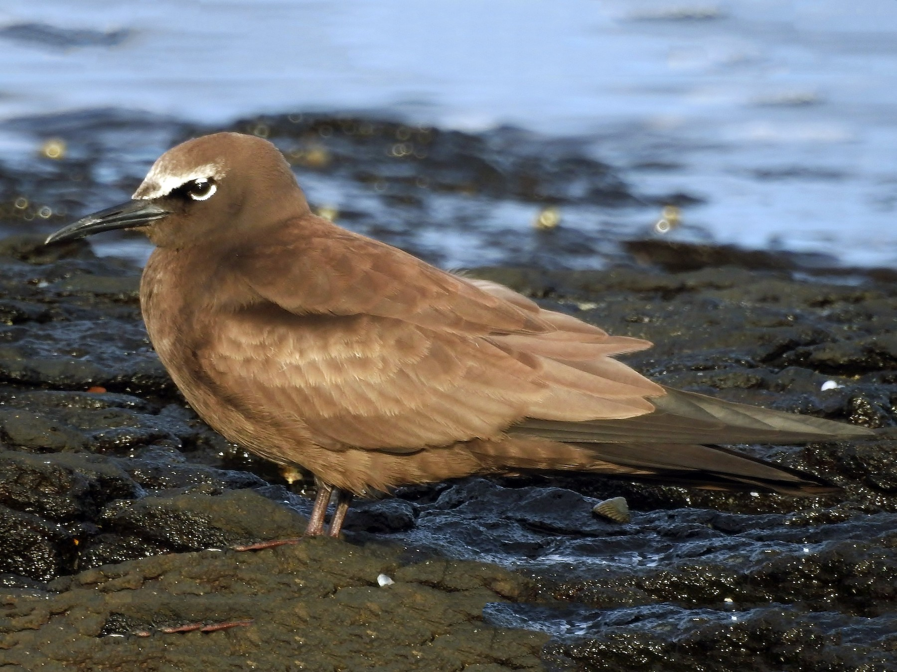 Brown Noddy - Steven McBride