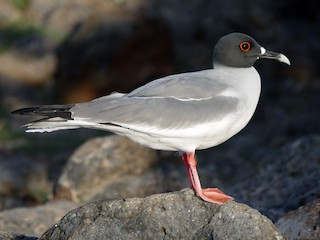 - Swallow-tailed Gull