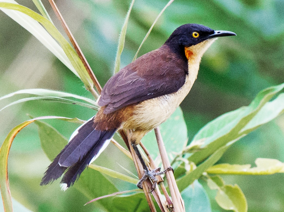 Black-capped Donacobius - Hudson - BirdsRio