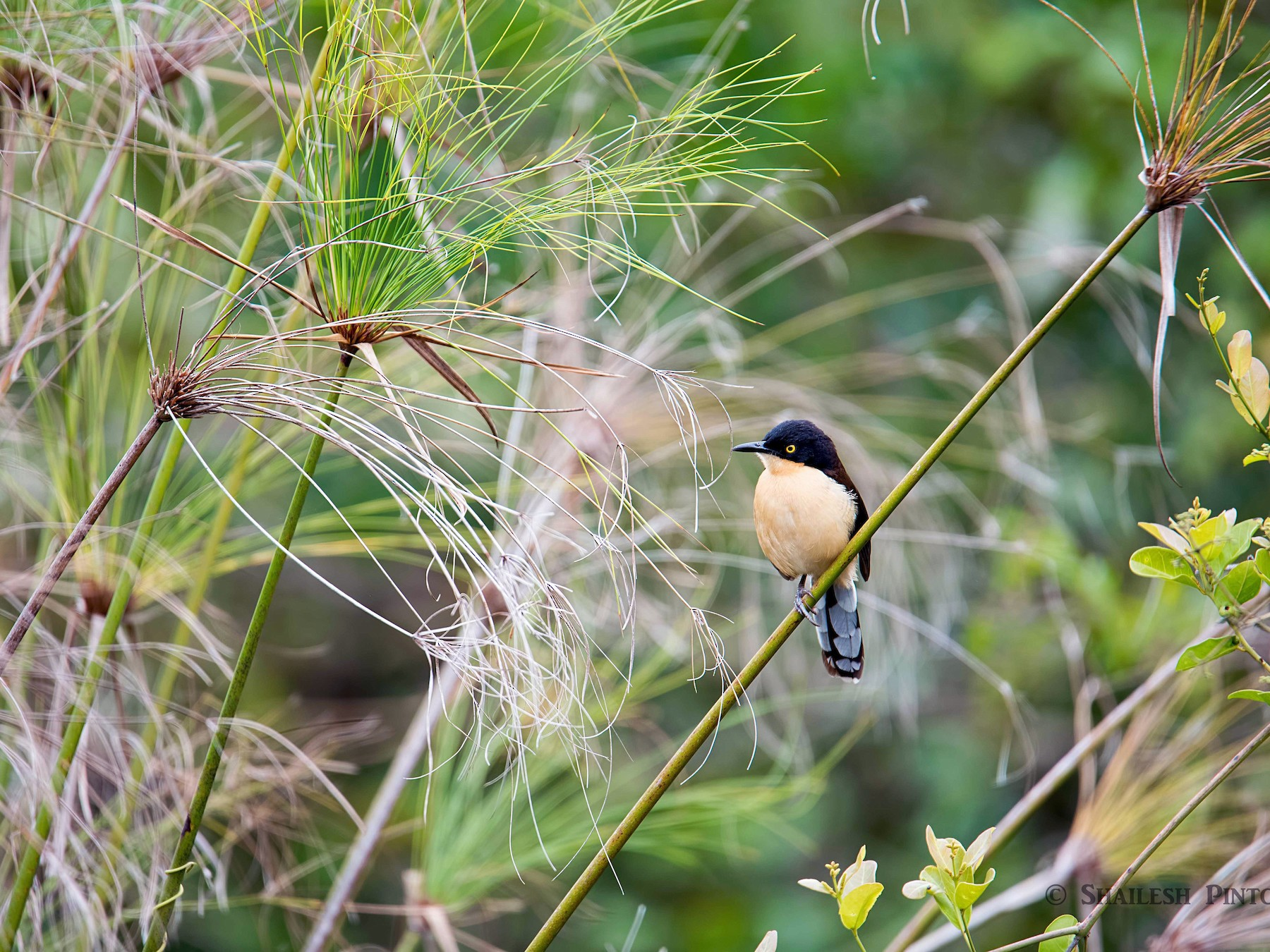 Black-capped Donacobius - Shailesh Pinto
