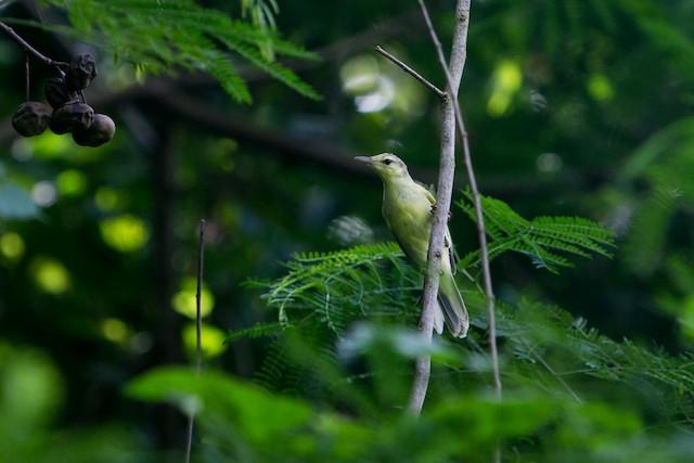 Southern Marquesan Reed Warbler