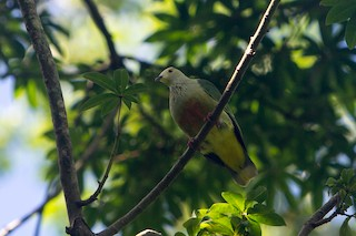 - White-capped Fruit-Dove