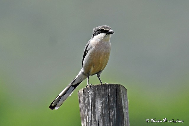 Iberian Gray Shrike