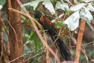 - Philippine Coucal