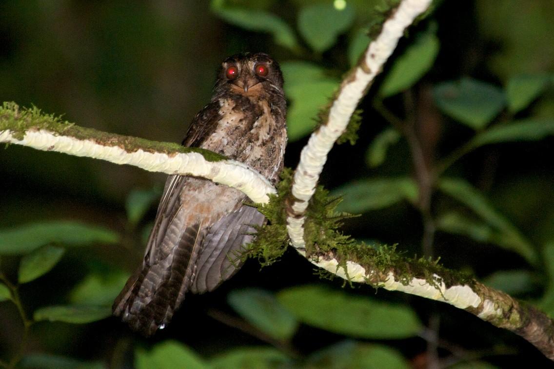 Moluccan Owlet-nightjar - John C. Mittermeier