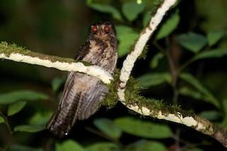- Moluccan Owlet-nightjar