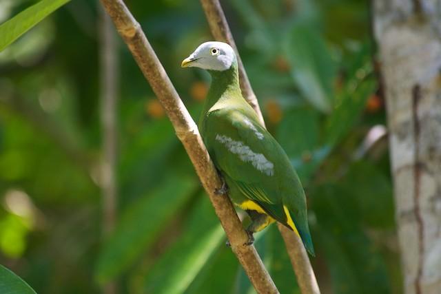 Gray-headed Fruit-Dove