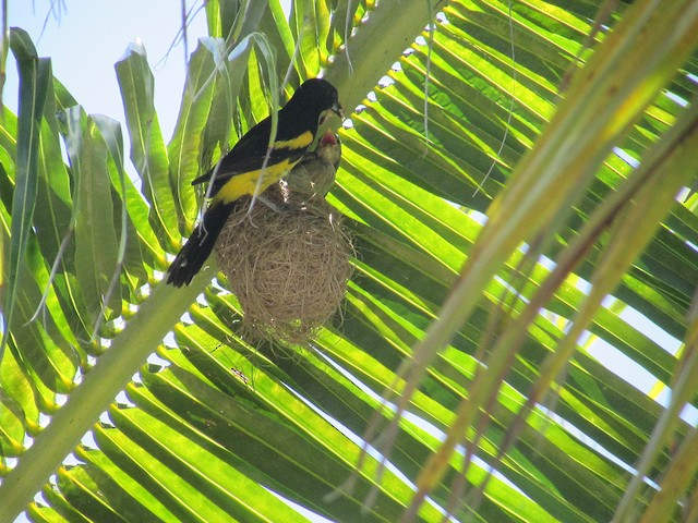Adult Bahama Oriole feeding young.