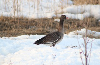 Lesser White-fronted Goose