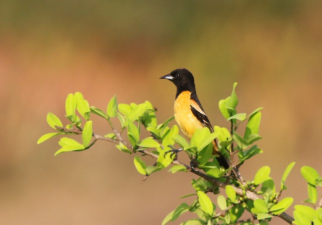 Orchard Oriole (Fuertes's)