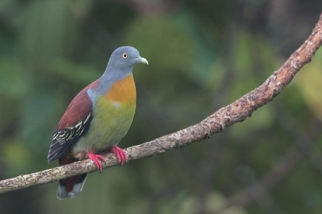 Little Green-Pigeon