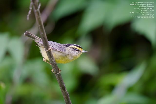 Yellow-throated Fulvetta