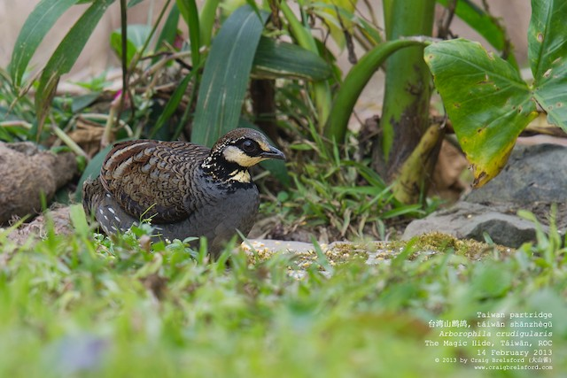 Taiwan Partridge