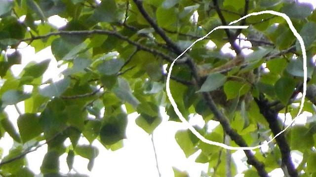 Eurasian Golden Oriole