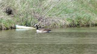 Canada Goose, ML59396821