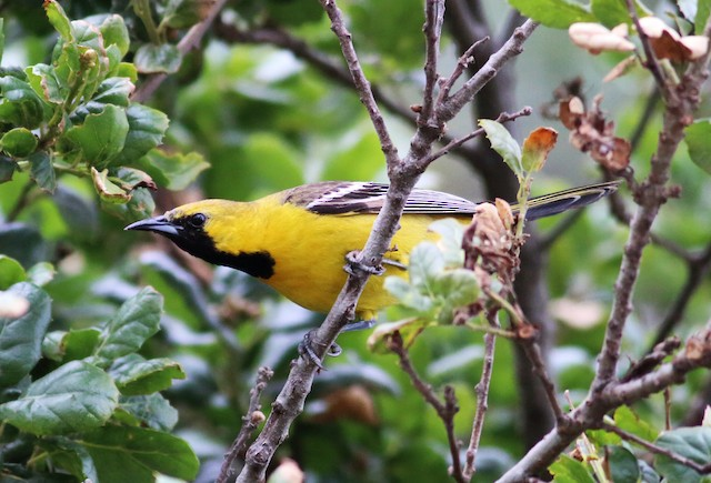 Hooded Oriole (nelsoni Group)