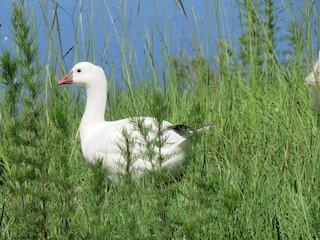 Ross's Goose, ML59566171