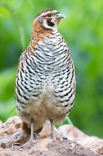 Tibetan Partridge, ML59635411