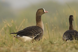 Lesser White-fronted Goose, ML59647891