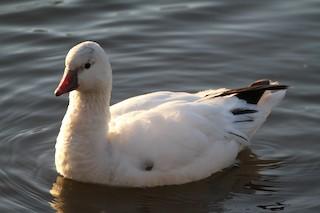 Ross's Goose, ML59670521