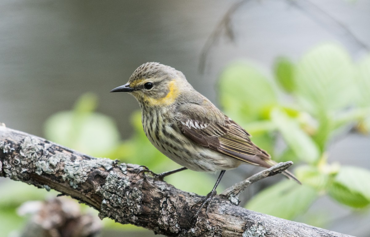 Cape May Warbler ML59765491