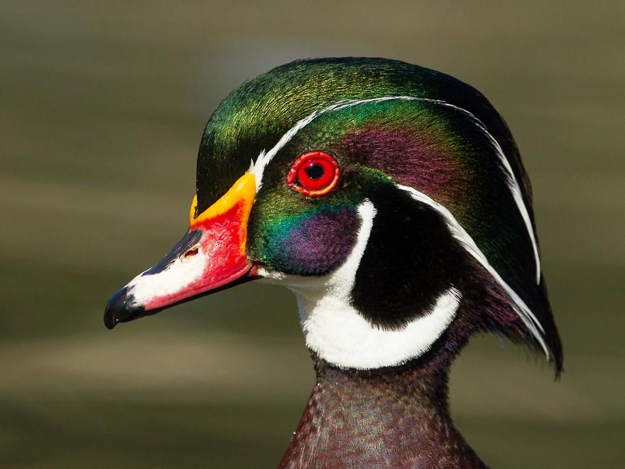 Wood Duck - Dorian Anderson