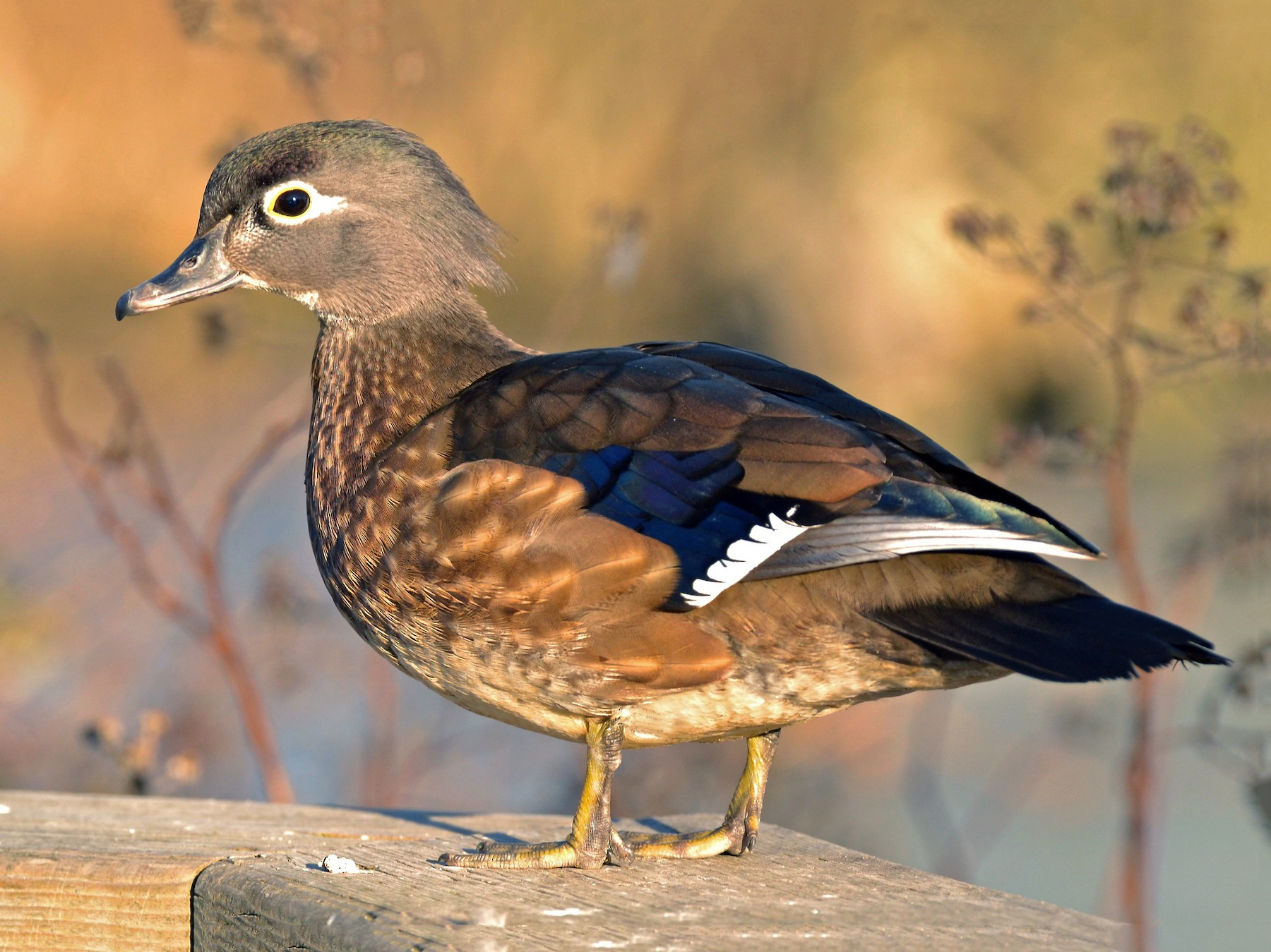 Wood Duck - Epi Shemming