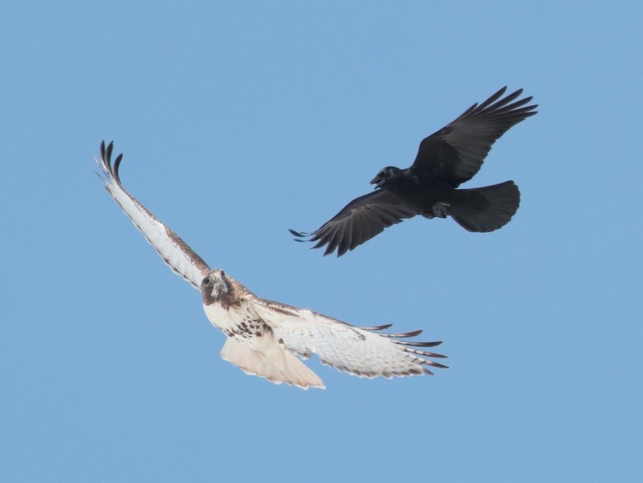 American Crow - bellemare celine