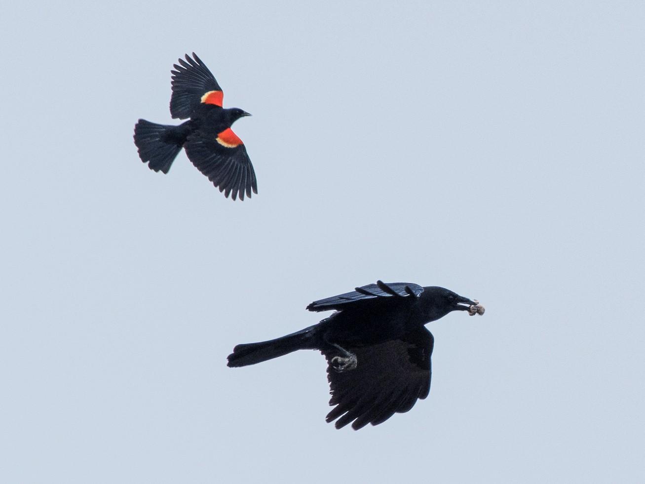 American Crow - Sheila Bremer