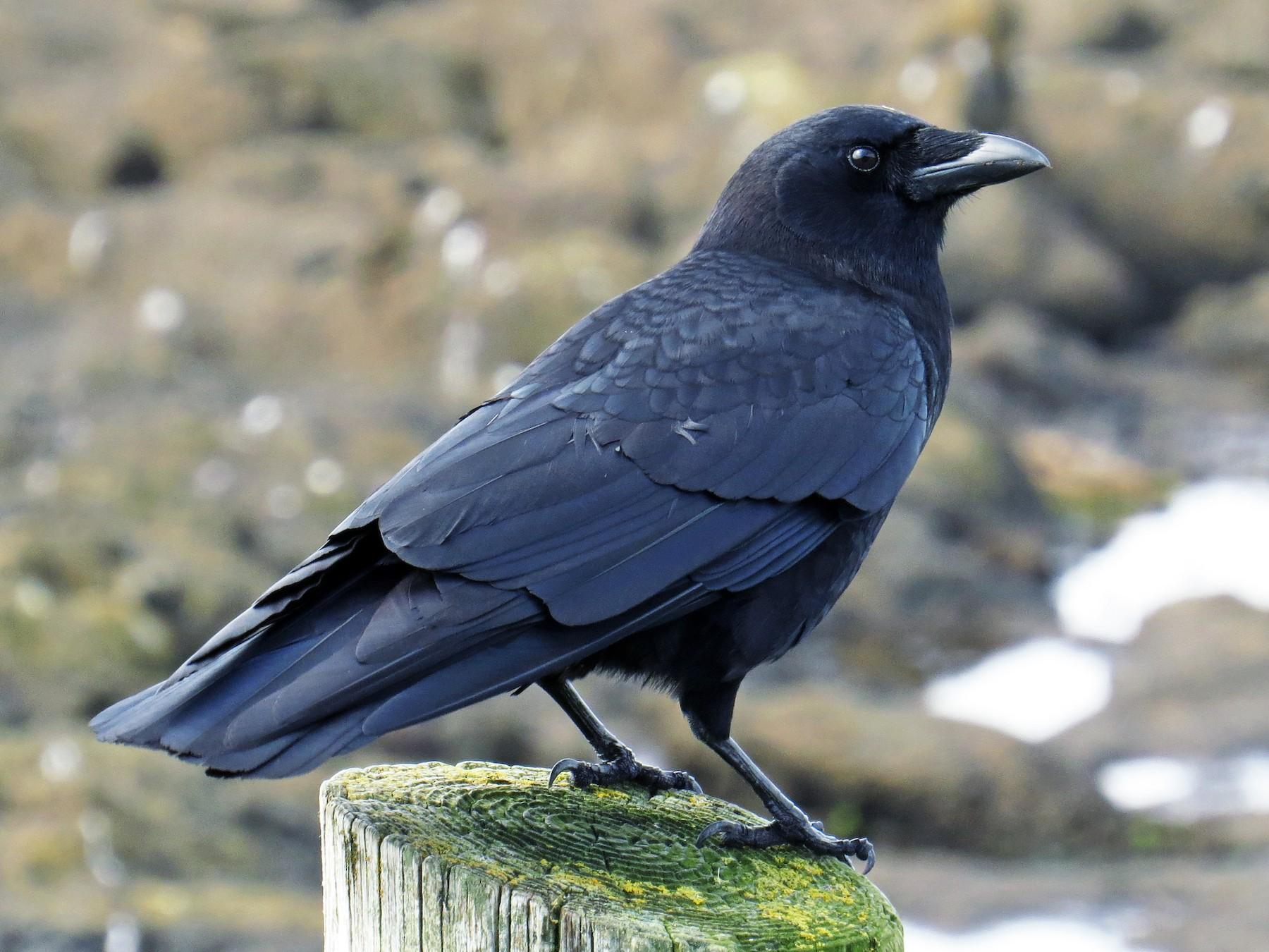 American Crow - Henry Burton