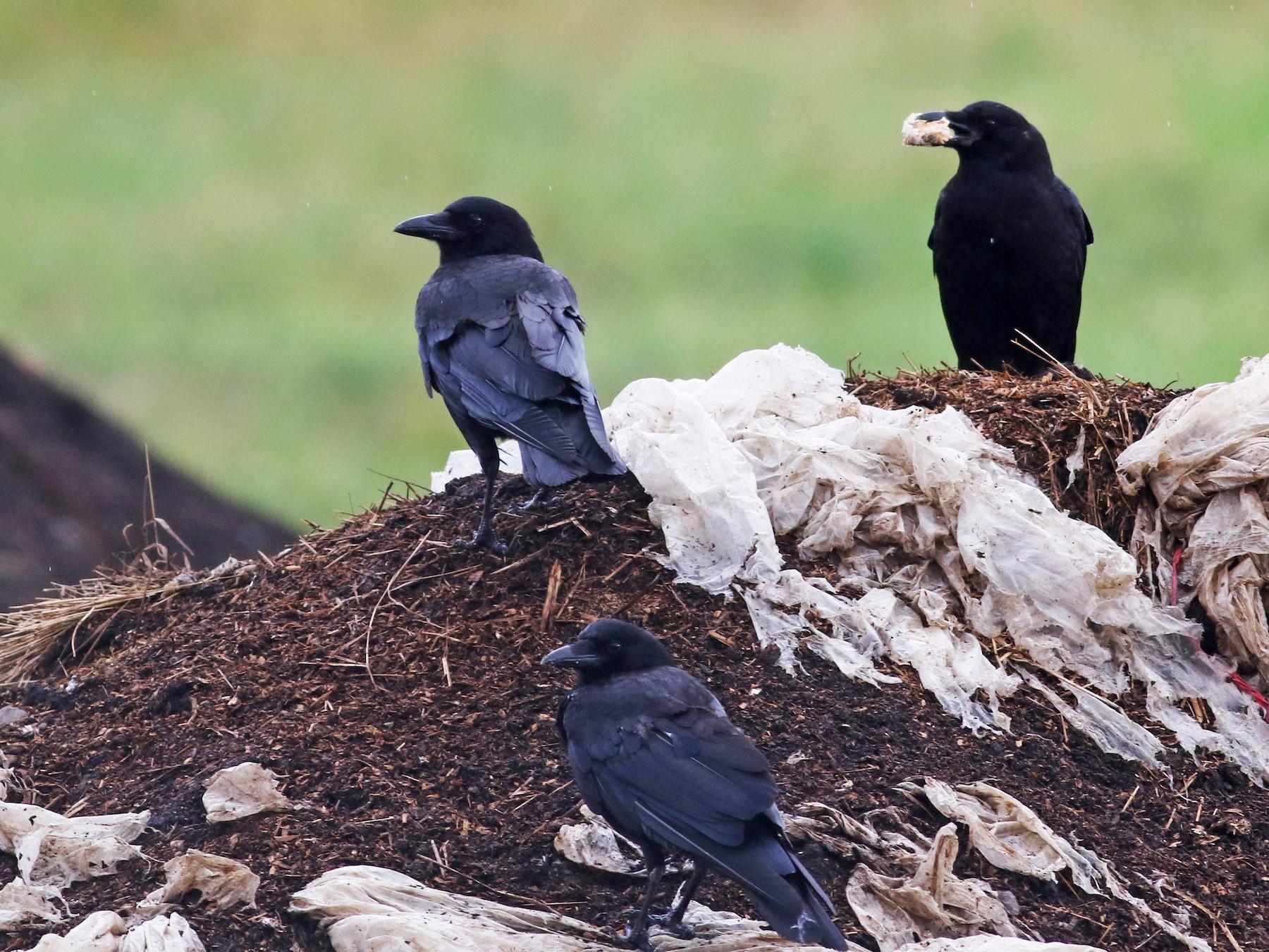 American Crow - Jay McGowan